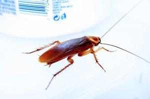 Disinfestazioni scarafaggi disinfestazioni blatte