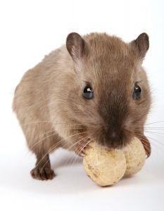 derattizzazione per topi e ratti
